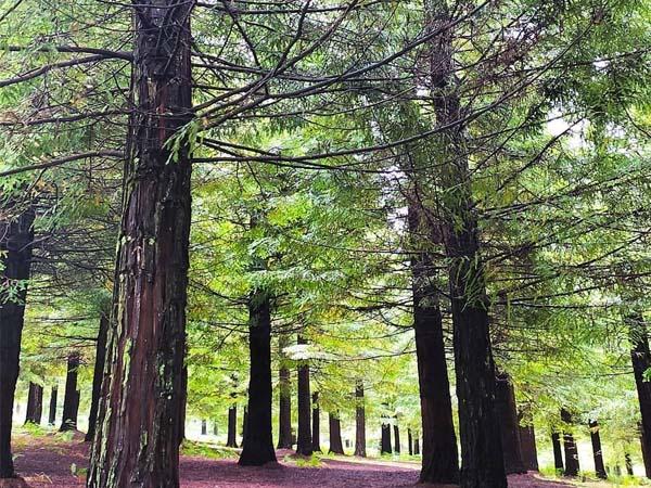 Bosque Secuoyas Poio
